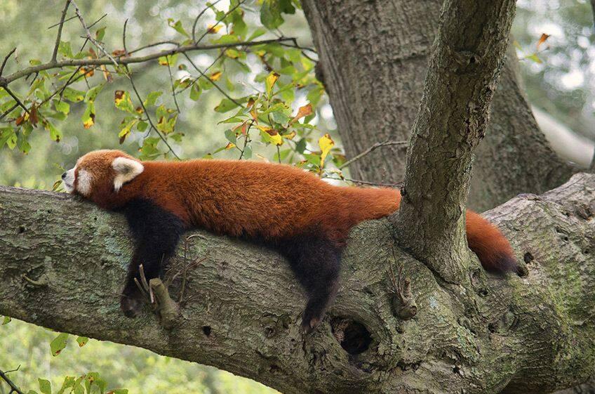 red panda asleep on a tree branch