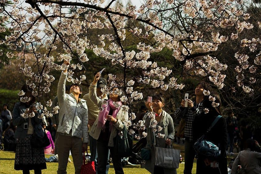 people taking cellphone photos of cherry blossoms
