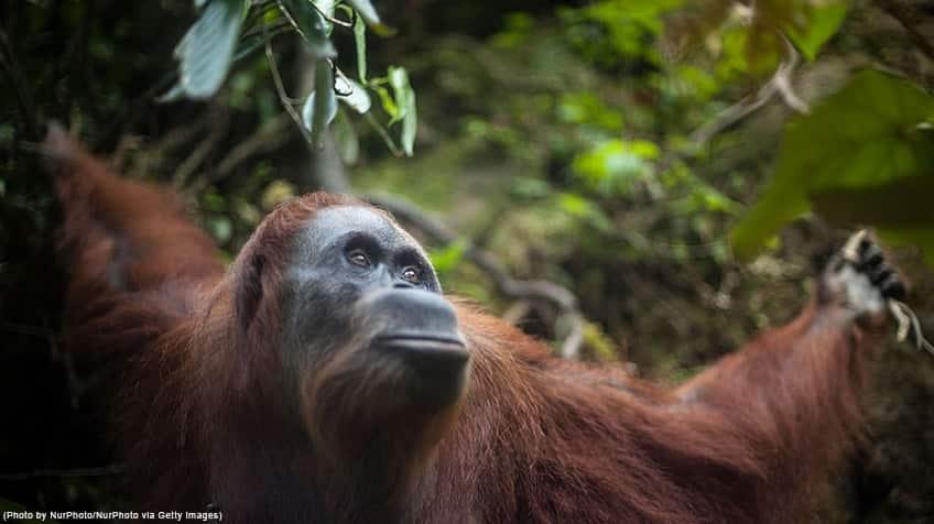 Orangutan looking off in the distance.