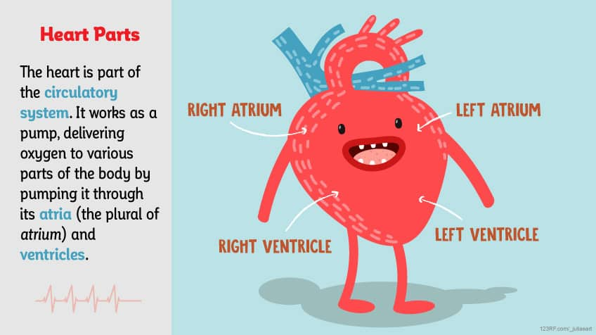 Facts About The Heart For Kids Best Fact 2017
