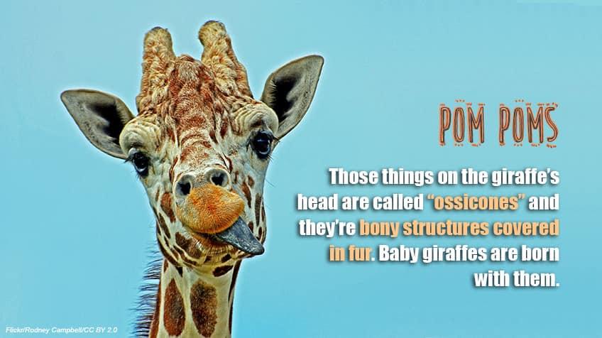 All Giraffes Facts For Kids
