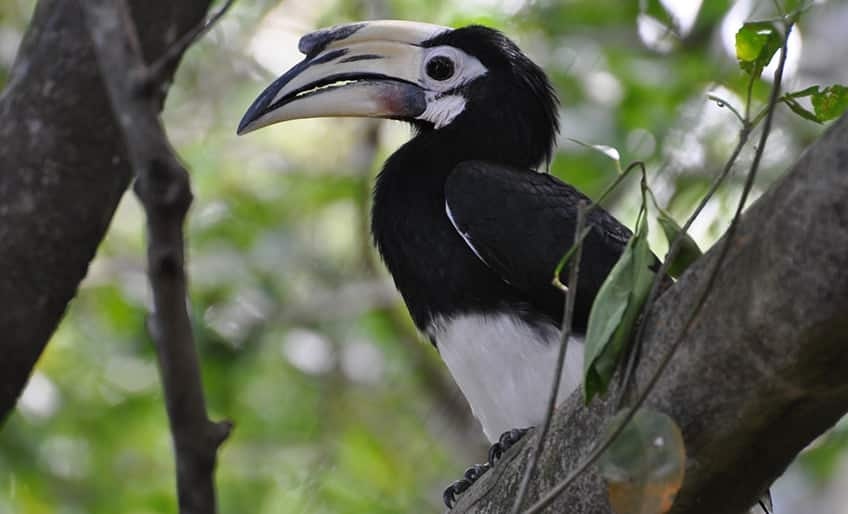 A free ranging Oriental Pied Hornbill in Nepal