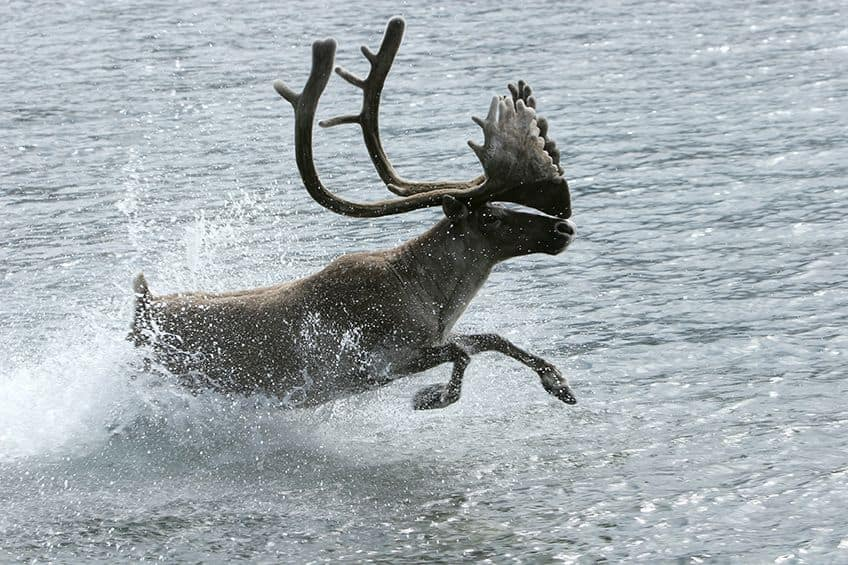 a caribou running in the water