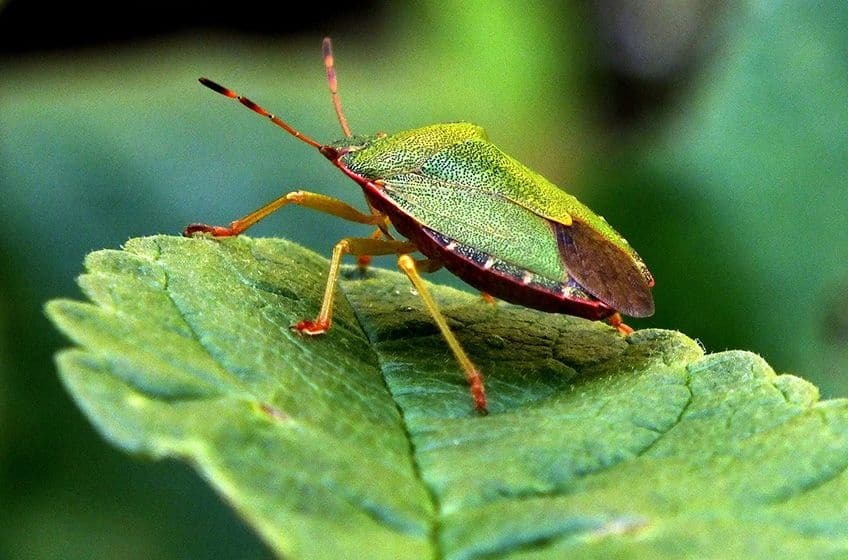 a very green bug on a very green leaf