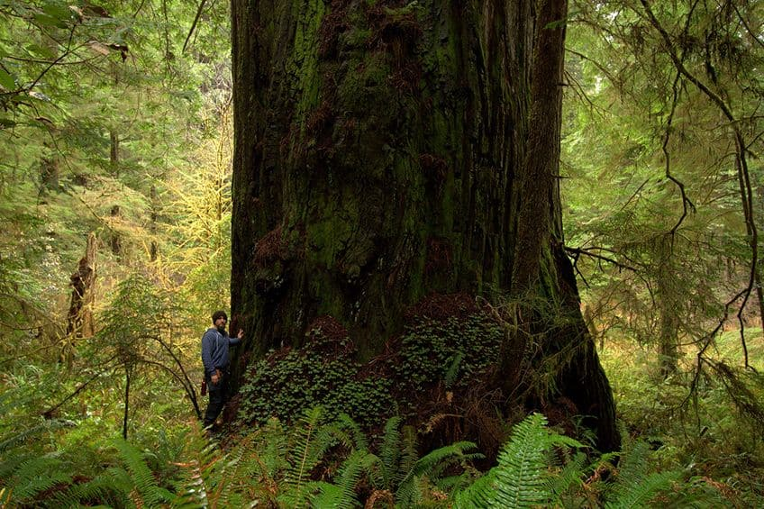 person standing in front of a gigantic redwood tree in the forest
