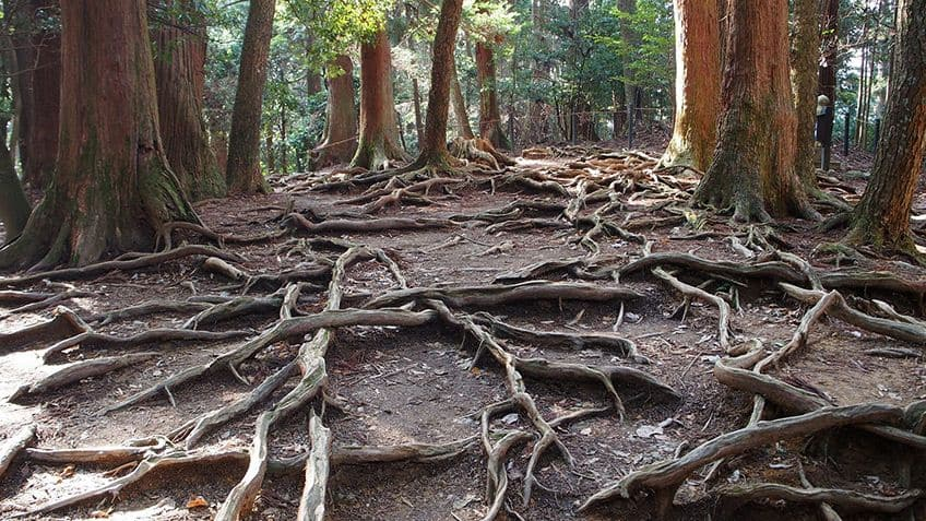 tree roots snaking across the forest floor
