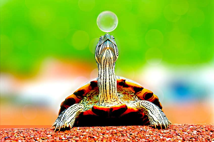 small turtle with bubble on its nose