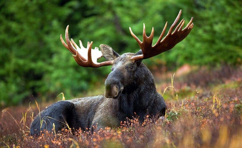 a moose sitting in the grass