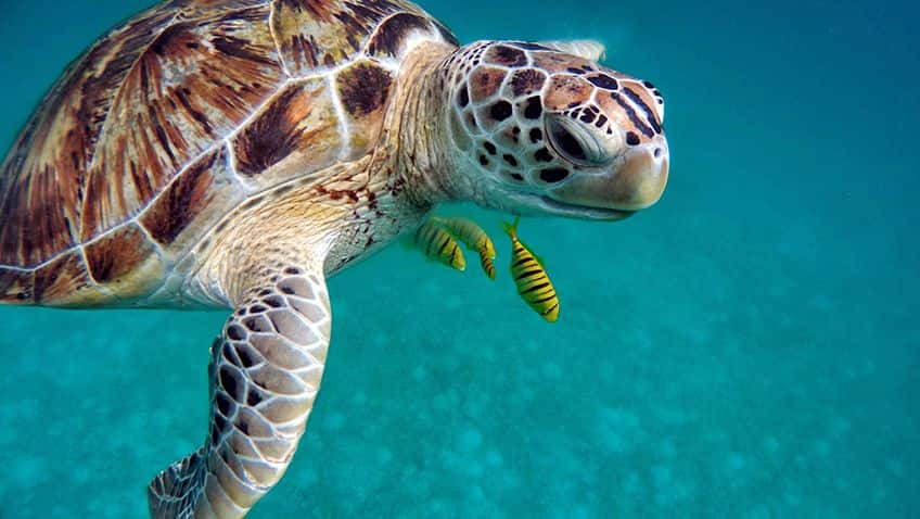 turtle swimming underwater with some fish