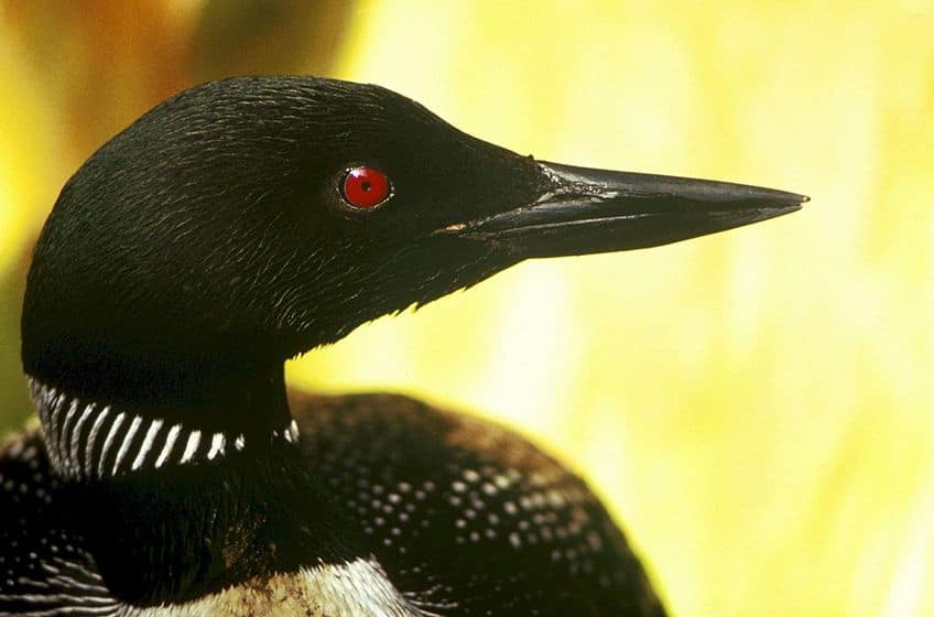 a close up of a loon