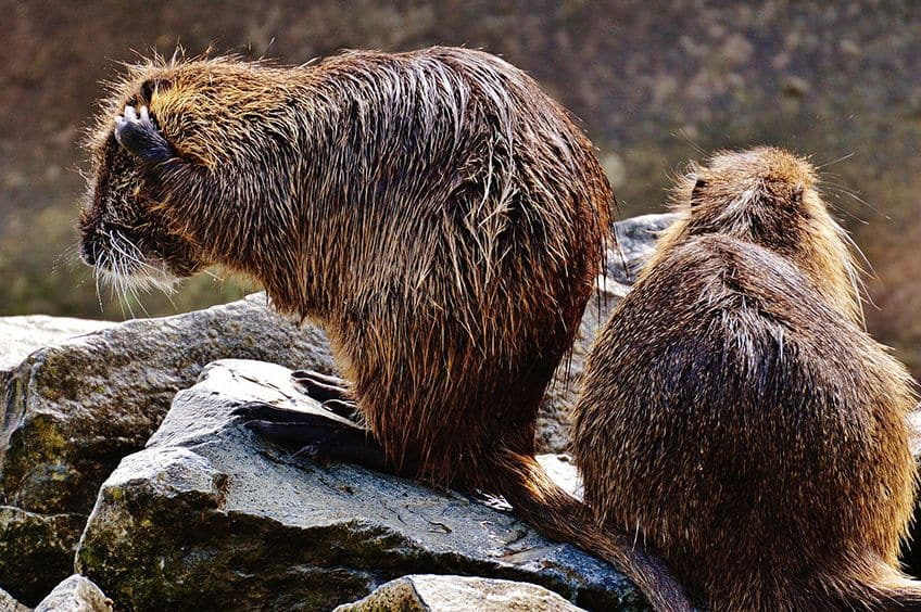 two wet muskrats drying off on rocks