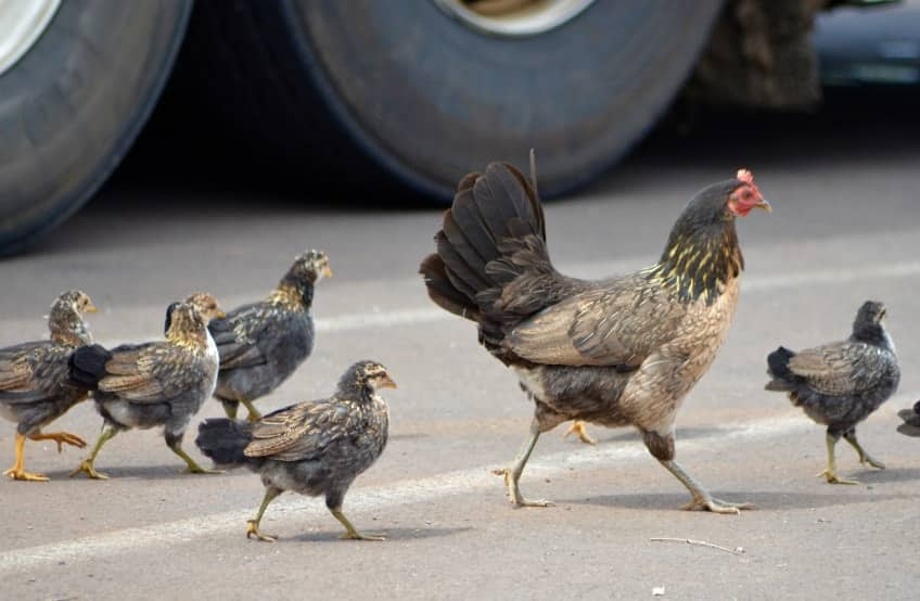 A chicken and her chicks crossing the road.