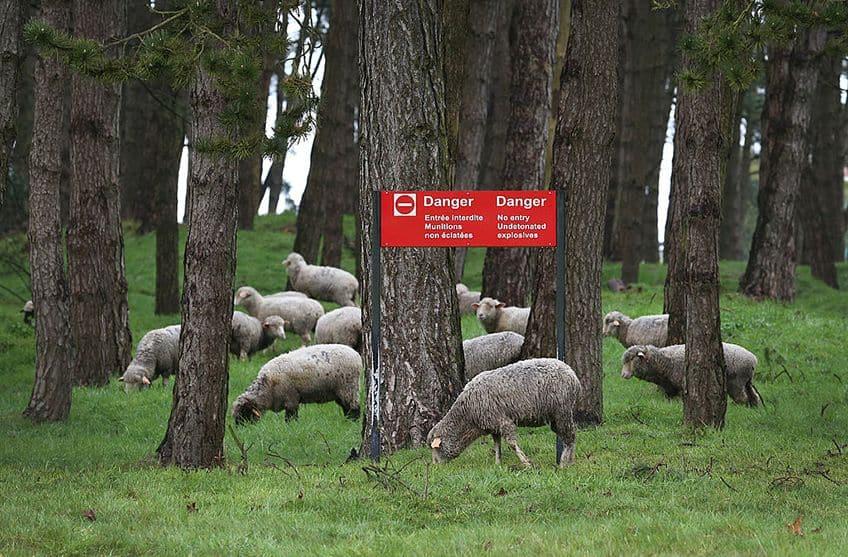 sheep grazing in the danger zone of Vimy Ridge