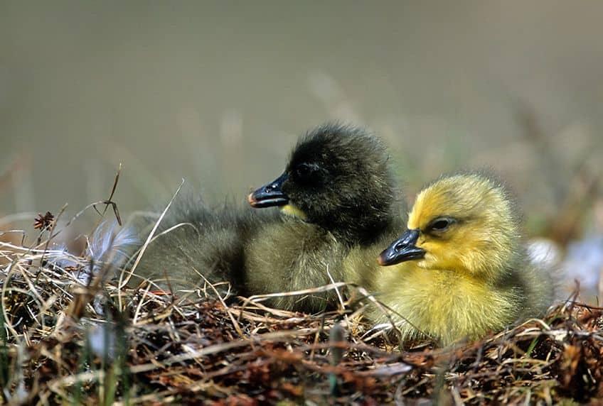 goslings in a nest