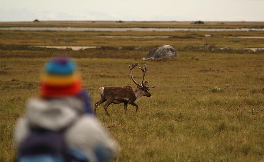 visitor looking at caribou