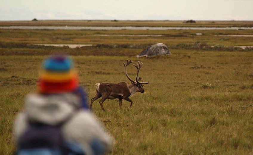 visitor looking at caribou