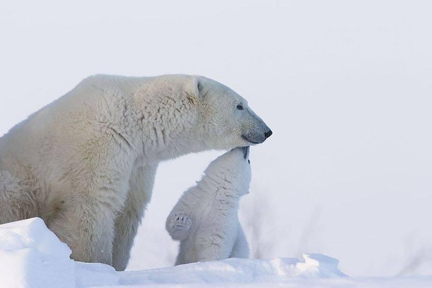 momma polar bear with cub