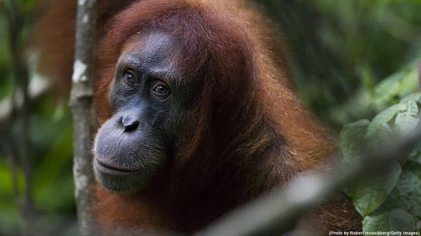 Close-up picture of orangutan