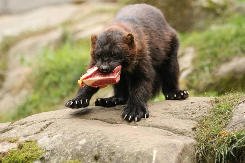 4 Things You Might Not Know About Wolverines No Not The X Men Explore Awesome Activities Fun Facts Cbc Kids
