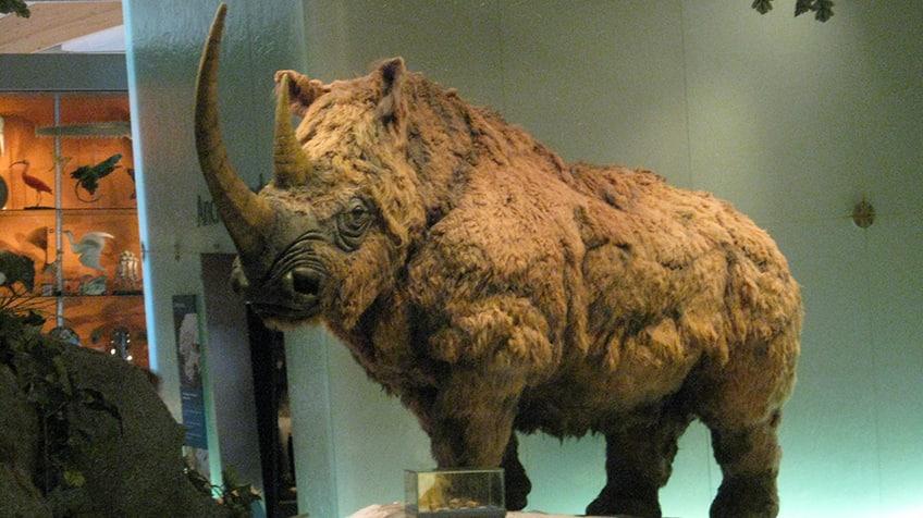 Um mamífero lanoso está em exibição em uma exposição.