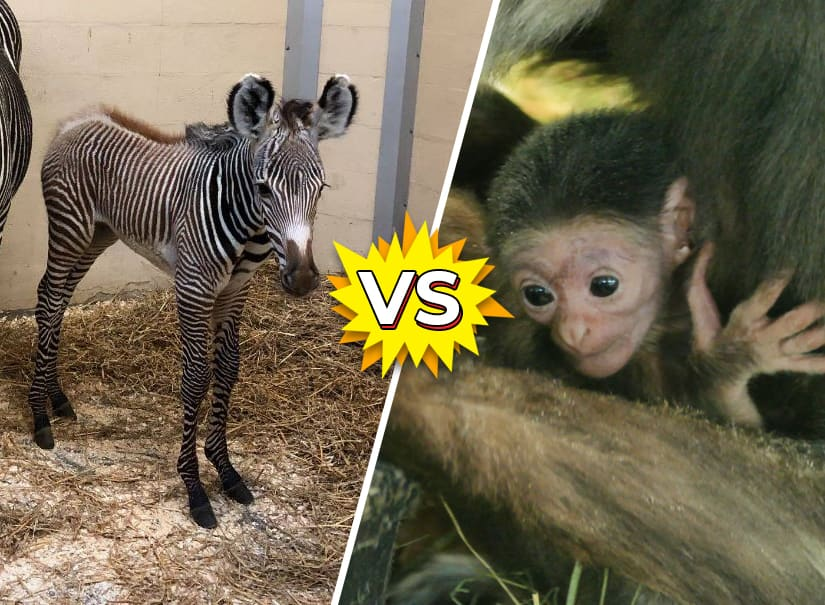 Animal Battle: zebra vs  gibbon | Quiz | Kids News
