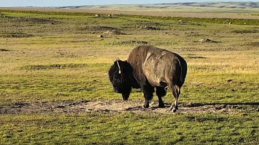 A brown bison stands alone in a wide open plain.