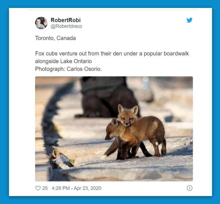 Twitter image of 2 young foxes. Text says: Fox cubs venture out from their den under a popular boardwalk alongside Lake Ontario.