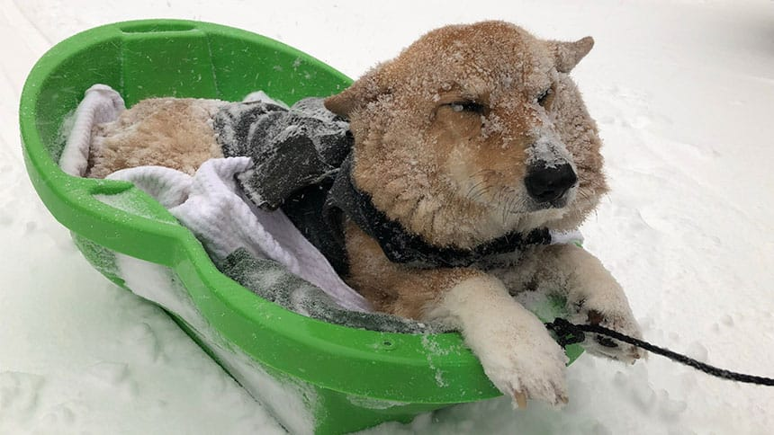 Dog lies in snowy sled.