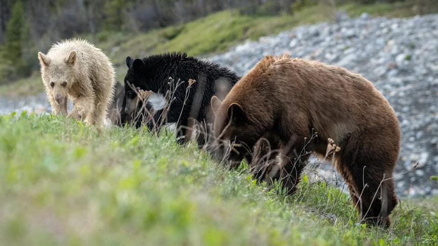 Three bears, one black, one brown and one white.