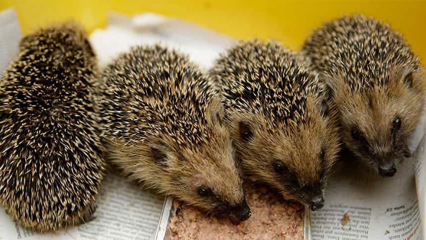 Row of hedgehogs eat food from a tray.