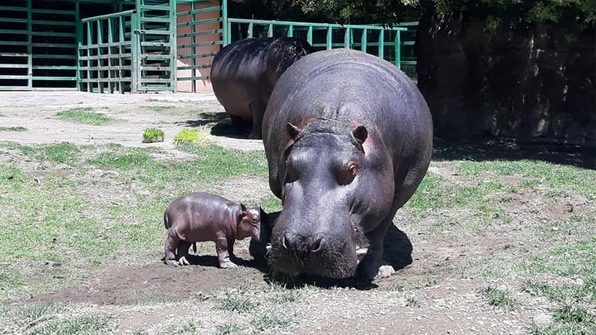 Baby hippo stands next to mother hippo in zoo enclosure.