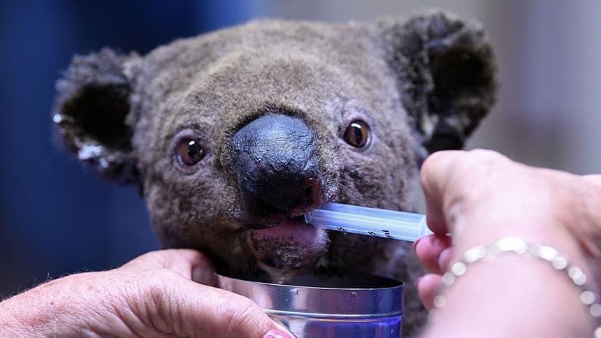 A woman gives water to a koala through a syringe.