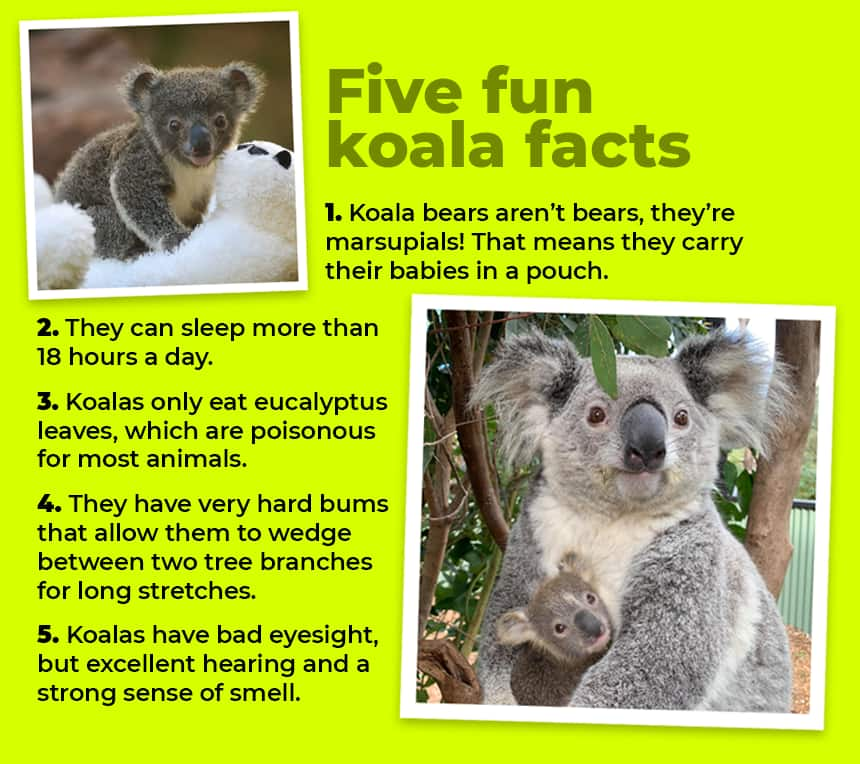 Five fun koala facts  Koala bears aren't bears, they're marsupials! That means they carry their babies in a pouch. They can sleep more than 18 hours a day. Koalas only eat eucalyptus leaves, which are poisonous for most animals. They have very hard bums that allow them to wedge between two tree branches for long stretches. Koalas have bad eyesight, but excellent hearing and a strong sense of smell.