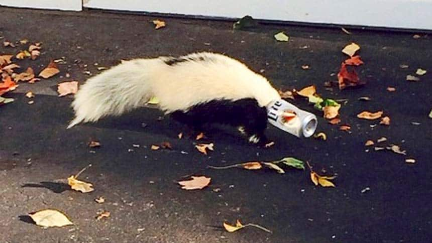 A skunk with a beer can stuck on it's head.