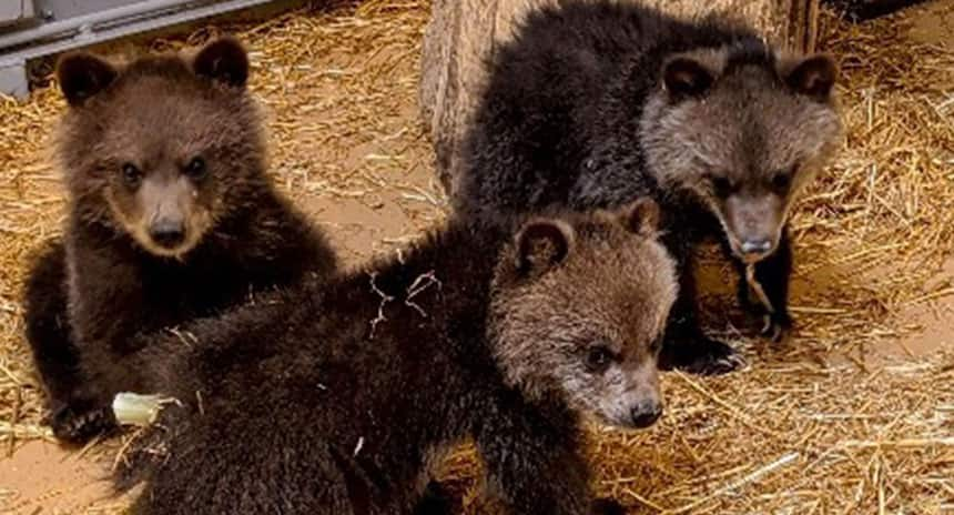 Three young bear cubs sitting on hay.