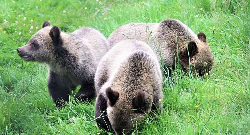 Three bear cubs hanging out in a grass field.