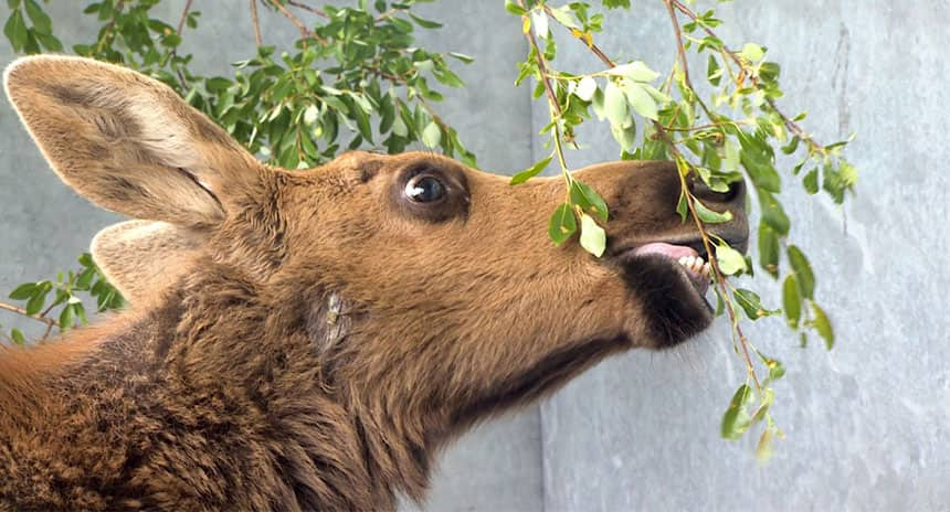 A young moose calf mid-bite of willow.