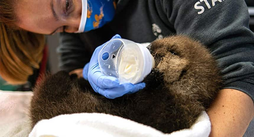 A rescue centre staff members feeds an otter pup.