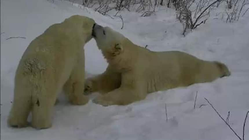 Two polar bears rub noses in the snow.