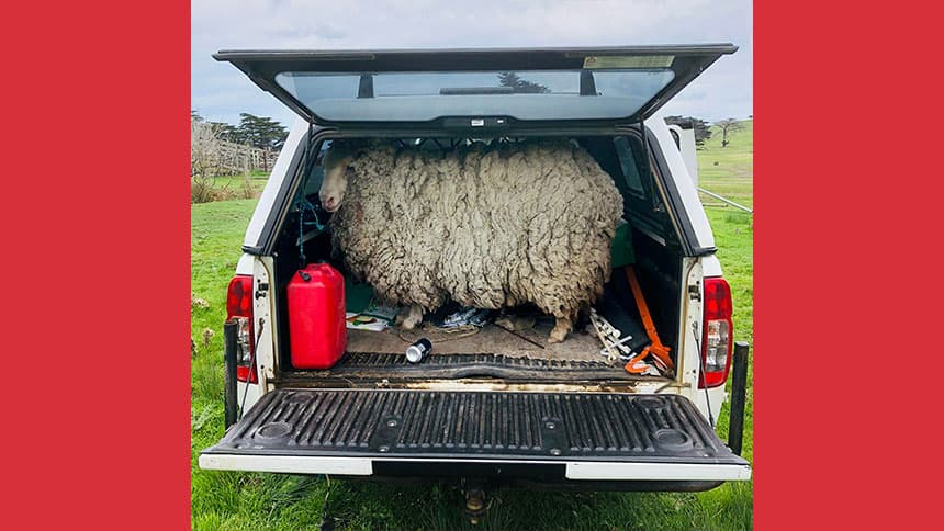 Prickles the sheep fills the whole trunk of a vehicle with her fleece.