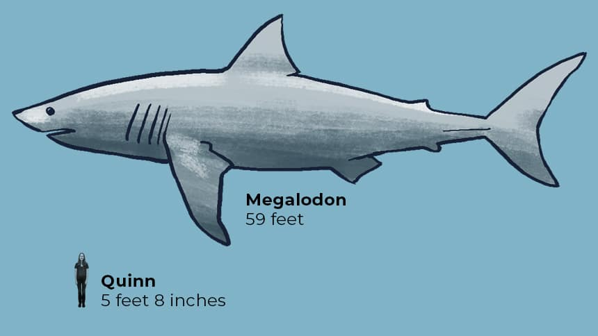 Quinn 5 feet 8 inches next to Megalodon 59 feet