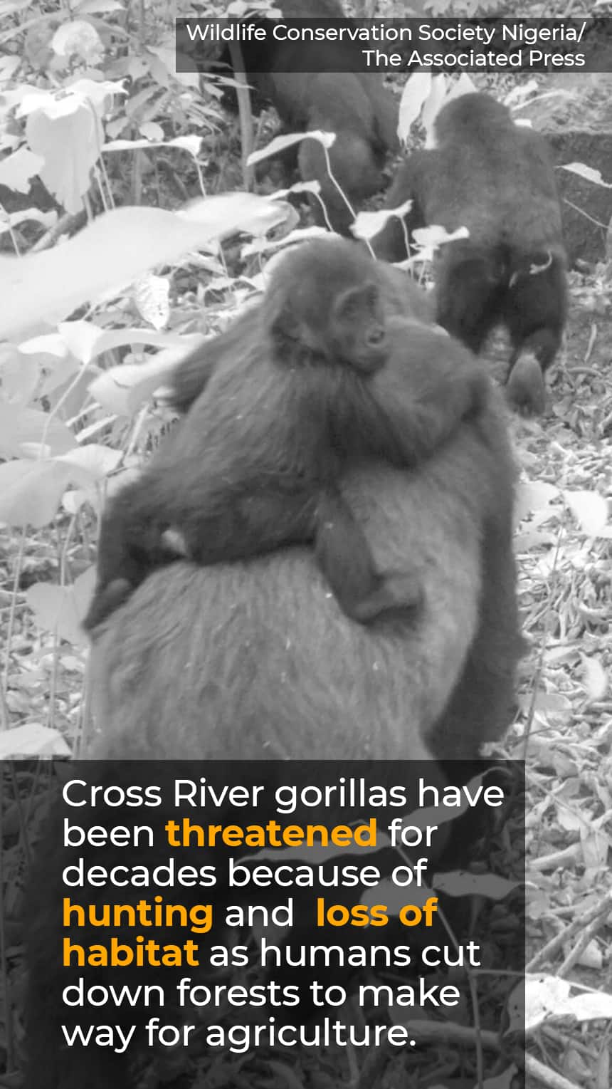 TEXT: Cross River gorillas have been threatened for decades because of hunting and  loss of habitat as humans cut down forests to make way for agriculture. IMAGE: Black and white photo of gorilla babies on their mamas' backs.