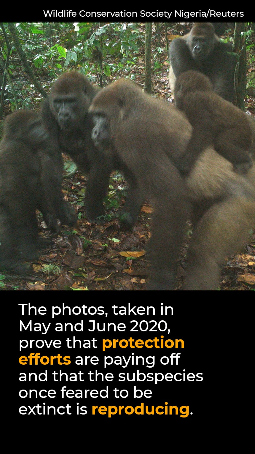 TEXT: The photos, taken in May 2020, prove that protection efforts are paying off and that the subspecies once feared to be extinct is reproducing. IMAGE: Gorillas and babies