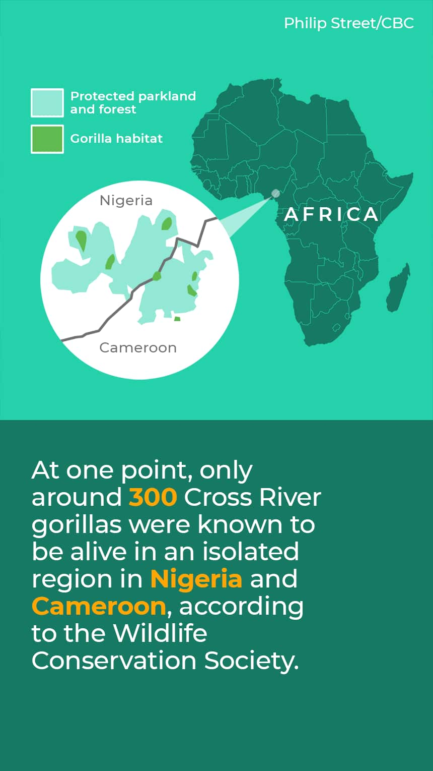 TEXT: At one point, only around 300 Cross River gorillas were known to be alive in an isolated region in Nigeria and Cameroon, according to the Wildlife Conservation Society. IMAGE: Map showing protected areas in Nigeria and Cameroon