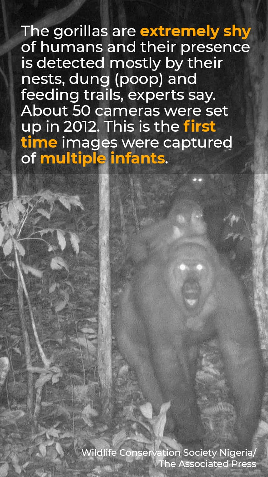 TEXT:  The gorillas are extremely shy of humans and their presence is detected mostly by their nests, dung (poop) and feeding trails, experts say. About 50 cameras were set up in 2012. This is the first time images were captured of multiple infants. IMAGE: Grainy picture of gorillas in the night