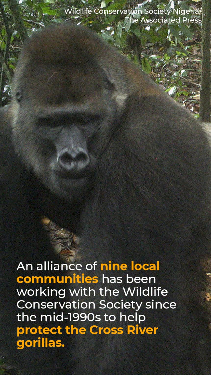 TEXT:  An alliance of nine local communities has been working with the Wildlife Conservation Society since the mid-1990s to help protect the Cross River gorillas.  IMAGE: Gorilla