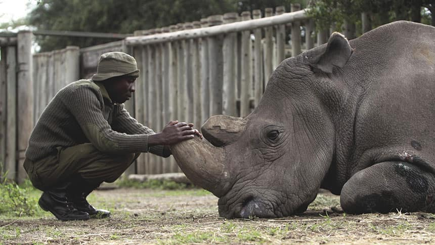 Man leans down close to rhino lying on the ground.