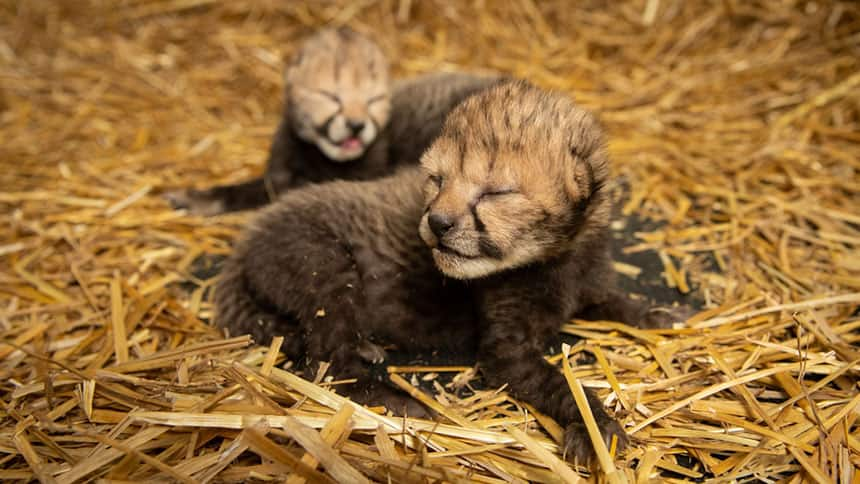 Two baby cheetahs lie together in some hay.