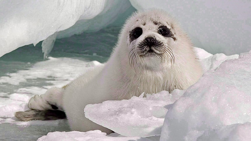 Hunting white coat baby seals like this one has been illegal in Canada since 1987. (Andrew Vaughan/The Canadian Press)