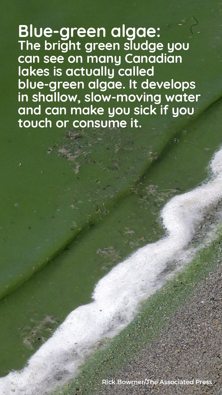 image: blue/green water on a beach. Text: Blue-green algae: The bright green sludge you can see on many Canadian lakes is actually called blue-green algae. It develops in shallow, slow-moving water and can make you sick if you touch or consume it.